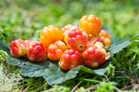 Cloudberry on a green unfocused background in wood. Fresh wild fruit