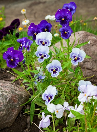 Violas or Pansies Closeup in a Garden photo
