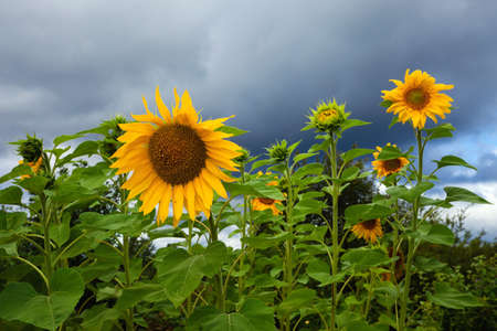 Yellow sunflowers on cloudy sky background photo