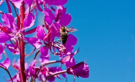 angustifolium: Purple Alpine Fireweed on blue sky background Stock Photo