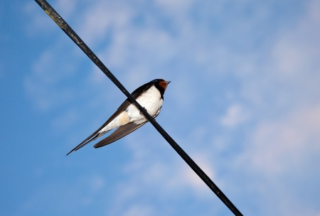 Swallow on blue sky background photo