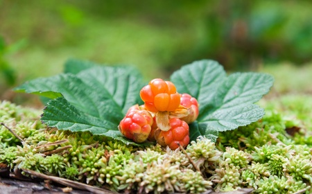 Cloudberry on a green unfocused background. Fresh wild fruit photo