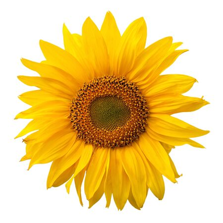 Yellow sunflower isolated on white background photo