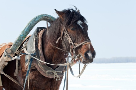 Head of brown horse with harness