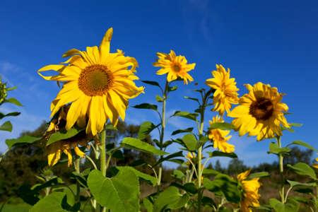 Beautiful sunflowers against blue sky photo