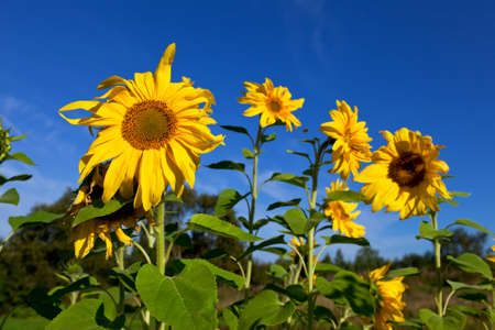 Beautiful sunflowers against blue sky photo