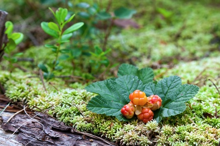 Cloudberry closeup in summer  Fresh wild fruit  photo