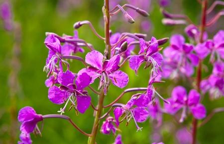 Purple Alpine Fireweed photo