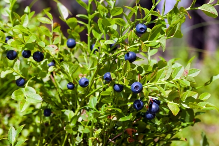 Bush of a ripe bilberry in the summer closeup Stock Photo - 13654272