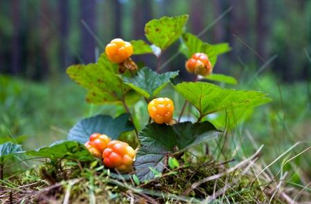 rubus chamaemorus: Mora de los pantanos de cerca en verano salvaje de frutas frescas