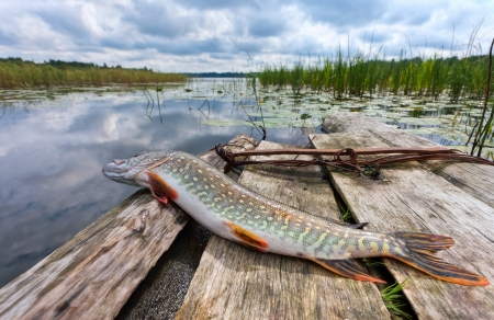 Raw, fresh fish  pike  on the background of the lake Stock Photo - 13712723