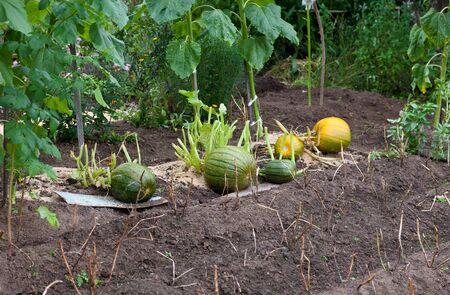 Growing pumpkins in a field photo