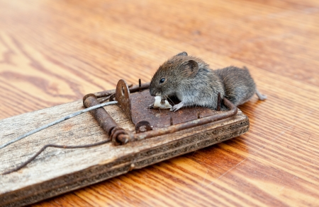 Dead mouse in a mousetrap photo