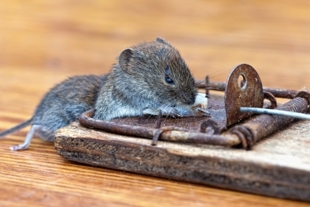 Dead mouse in a mousetrap Stock Photo - 15145343