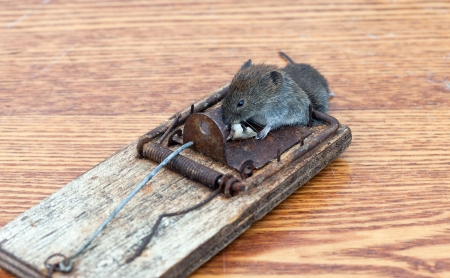 Dead mouse in a mousetrap Stock Photo - 15145331