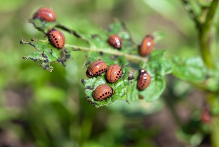 The red colorado beetles larvae feeding on the potato leaf photo