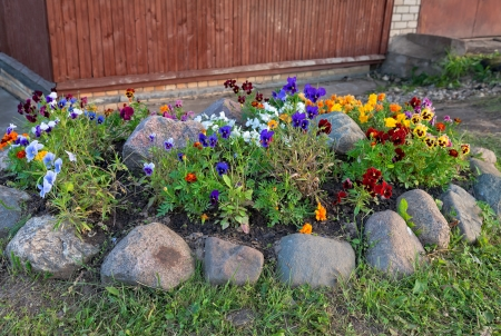 Violas or Pansies in a Garden photo