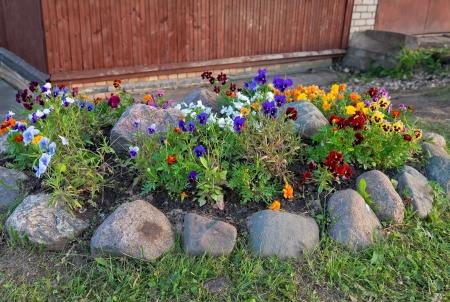 violas: Violas or Pansies in a Garden Stock Photo