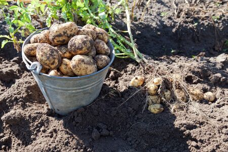 harvests: First harvest of organically grown new potatoes