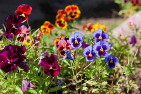 violas: Violas or Pansies Closeup in a Garden Stock Photo