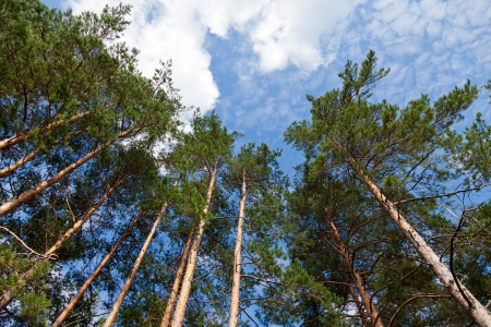 Tall pine trees in the forest against blue sky. photo