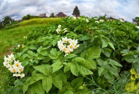Countryside with potato field Stock Photo