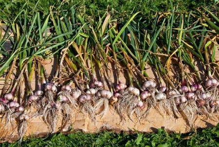 Gathered organic garlic drying at the sun
