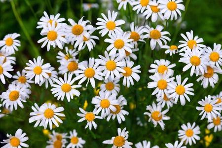 chamomilla: White daisy family herbal flowers at summertime
