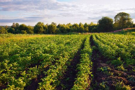Potatoes plantation with a sunset light  photo