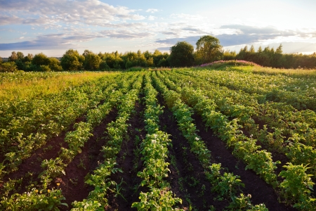 Potatoes plantation with a sunset light  Stock Photo
