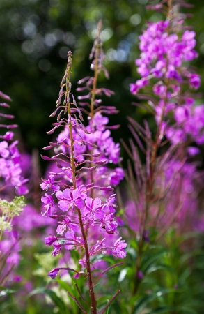 Purple Alpine Fireweed closeup in last summer