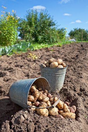 grow food: First harvest of organically grown new potatoes