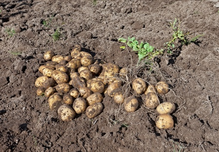 organically: Harvest of organically grown new potatoes Stock Photo