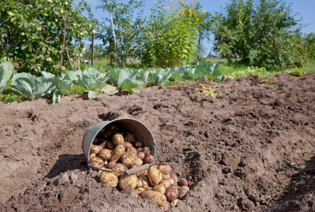 First harvest of organically grown new potatoes Stock Photo - 18585773