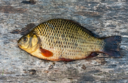 Live freshwater fish carp on a wooden board Stock Photo - 19551137