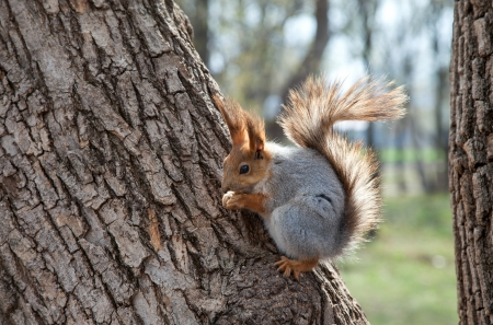 Red squirrel eating a nut on a tree photo
