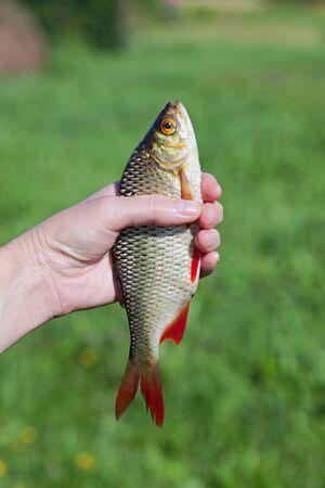 rudd: Freshly caught fish rudd  in the hand Stock Photo