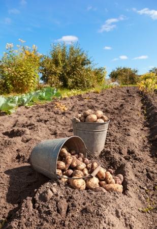 フィールドでの新鮮な生のジャガイモ 写真素材