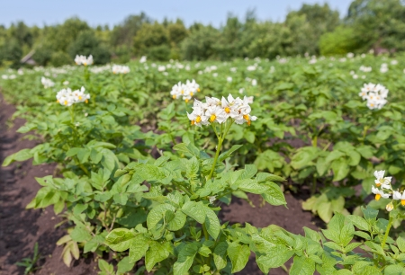 The potato bush blooming with white flower photo