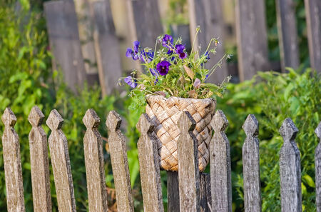 violas: Violas or Pansies in old birch basket