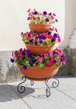 Beautiful petunia flowers in big flowerpot in sunny day