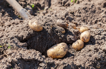 grown up: Digging up fresh home grown potatoes close up Stock Photo