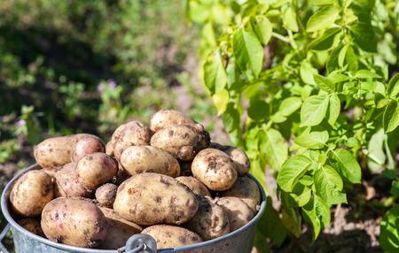 Un cubo de patatas nueva cosecha en el primer jardín