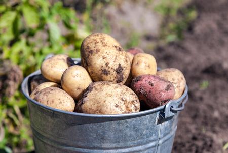 papas: Un cubo de patatas nueva cosecha en el primer jardín