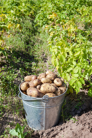 grown: First harvest of organically grown new potatoes