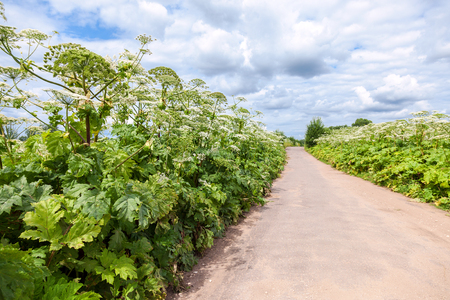 invade: Cow parsnip or the toxic hogweed in summer sunny day
