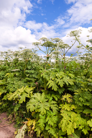 parsnip: Cow parsnip or the toxic hogweed  blossoms on blue sky background