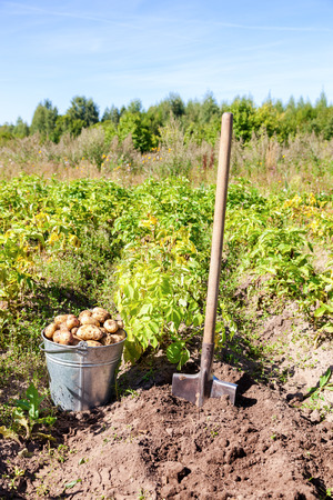 organically: First harvest of organically grown new potatoes in sunny day Stock Photo