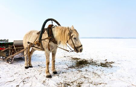 gelding: Horse with sledge at the bank of frozen river in wintertime