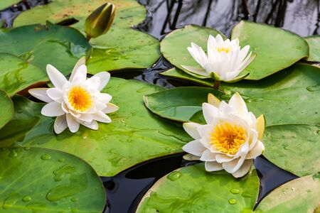 stunning: White water lily flowers with big green leaves Stock Photo